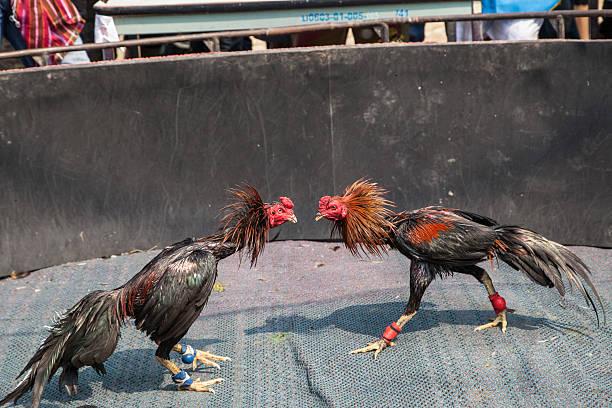 Cara Bermain Judi Sabung Ayam Online di Situs S128