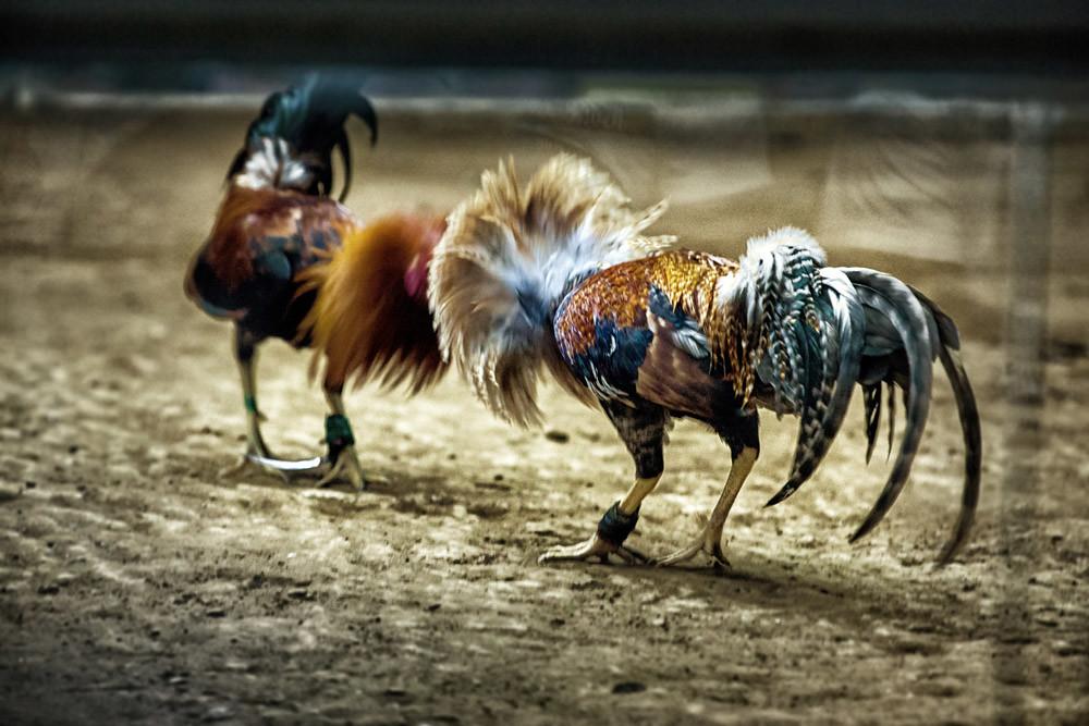 Memilih ayam petarung